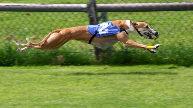 Greyhound Derby Betting Strategies